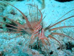 Juvenile lionfish, not more than 4cm, taken at Sharksba w... by Anel Van Veelen 
